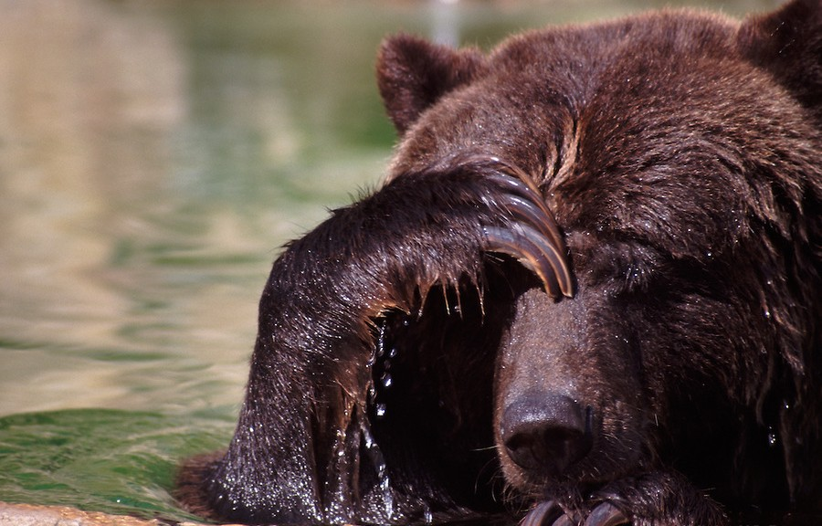 Grizzly Bear Covers Eyes with Paw  23481  Ursus arctos horriblis