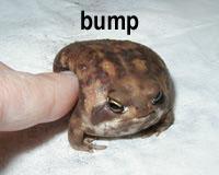 bumptoad